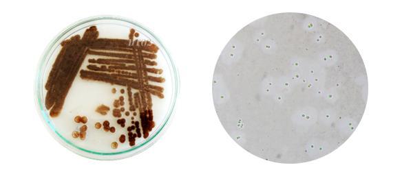 Azotobacter